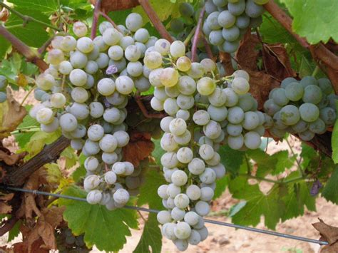 uvas blancas imagenes los aromas de las uvas blancas