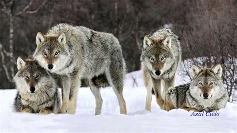 imagenes de lobos en 4k m 250 sica 201 pica im 225 genes de lobos youtube