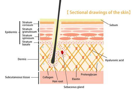 diagram of the dermis dermis structure www pixshark images galleries