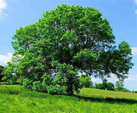 tree in fresno fresno