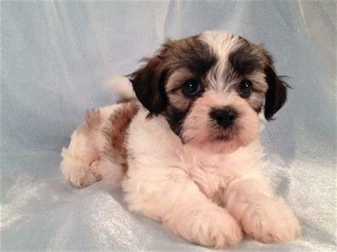 shih tzu teddy mix best 20 haircuts ideas on maltese haircut grooming styles and