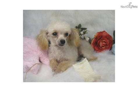 mini poodle weight standard poodle puppy weight chart breeds picture