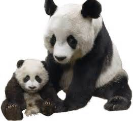 Panda Pictures News Information From The Web