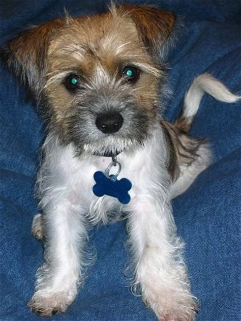 shih tzu westie mix fo tzu breed information and pictures