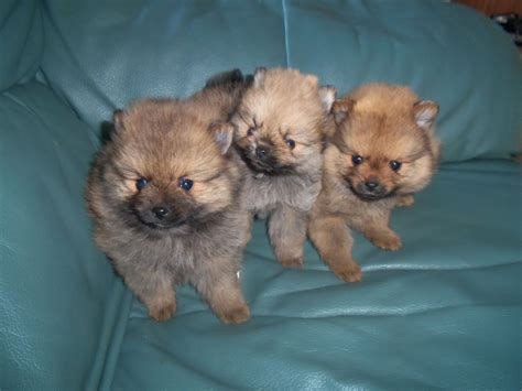 purebred pomeranian puppies for sale from breeders true purebred pomeranian puppies market harborough leicestershire pets4homes