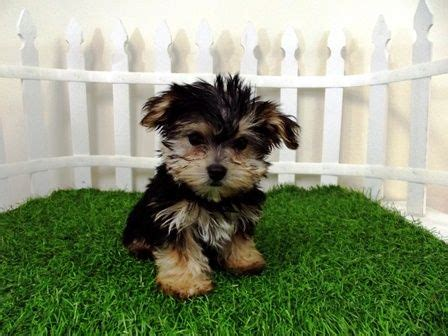morkie puppies for sale in indiana morkie puppies for sale puppys and morkie puppies on