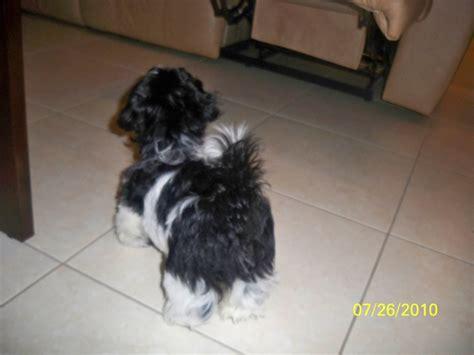 bow legged puppy bowlegged puppy