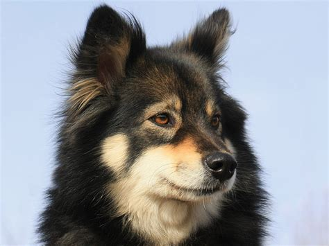 lapphund puppies lapphund photo and wallpaper beautiful lapphund