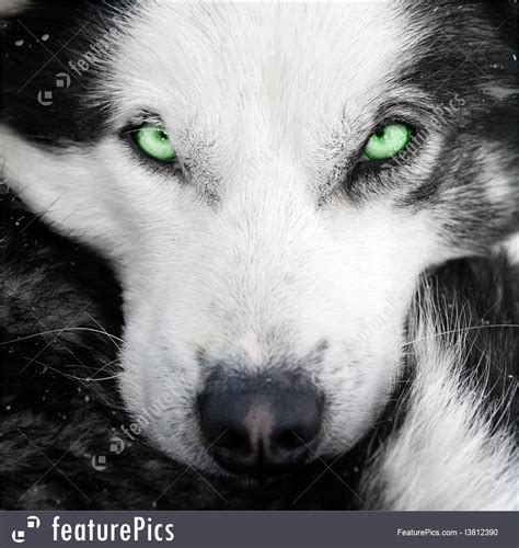 dogs with green pets husky with green stock image i3812390 at featurepics