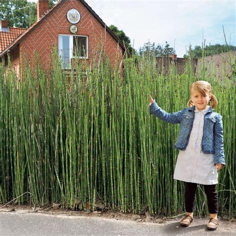 schnellwachsende hecke als sichtschutz 44 220 ber 1 000 ideen zu sichtschutz pflanzen auf