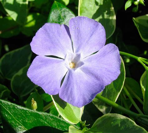 poppular photography vinca flower