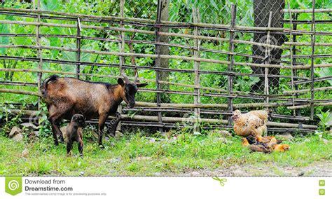 geiten in tuin geiten en kippen bij tuin in dalat vietnam stock foto
