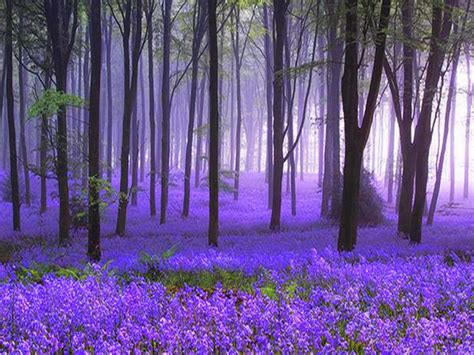 bluebell forest lavanda wood wallpaper and background 1280x960 id 117504