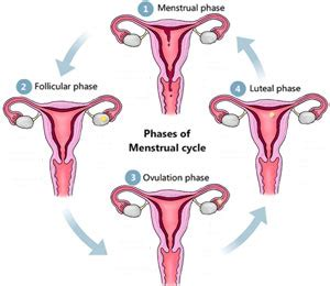 Lining Of Your Uterus Shedding During Menstruation by 100 Uterus Lining Shedding After Period How