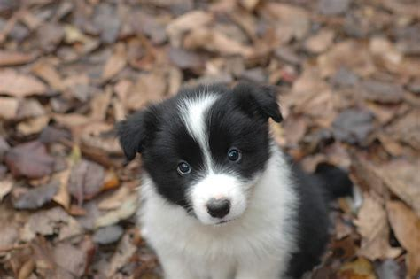border collie puppy pictures pin border collie information and facts all puppies pictures on