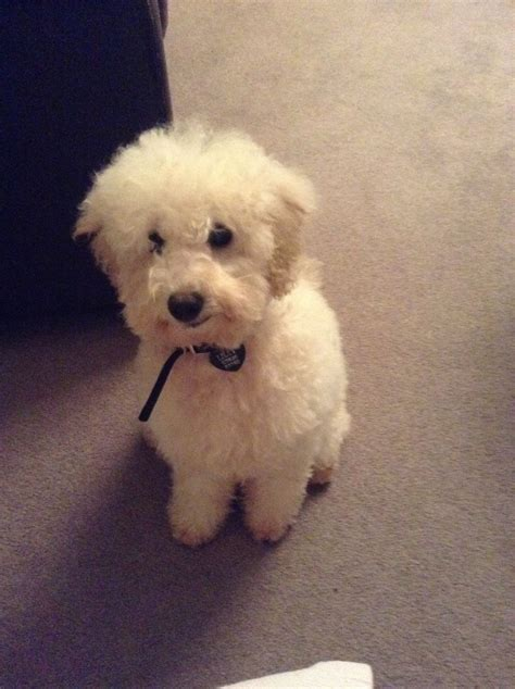mini poodle for sale miniature poodle for sale not neutered wakefield