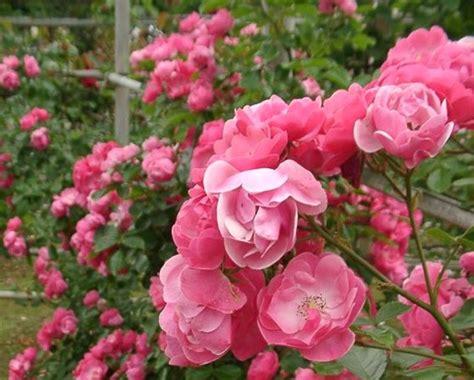 imagenes de rosas trepadoras rosal angela 191 d 243 nde comprar este rosal trepador fotos