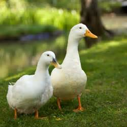 duckling image file pair of white domesticated ducks jpg