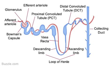 diagram of the nephron labeled diagram of a nephron and its location and