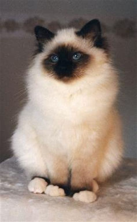 ragdoll weight size and weight of birman cats many
