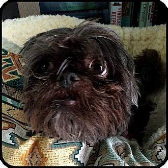 shih tzu rescue san diego seymour mo brussels griffon shih tzu mix meet colby in san diego ca a for