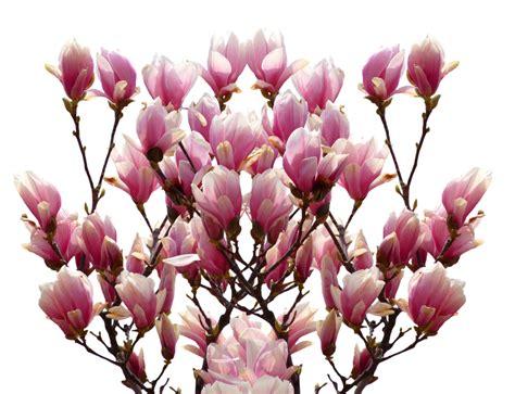 fiori primaverili da vaso fiori primaverili da vaso 10 fiori da balcone invernali