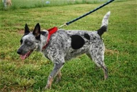 bobs house for dogs pin by lisa gardiner on cattle dogs pinterest