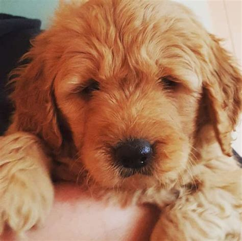 doodle puppies for sale ky mini goldendoodle puppies for sale by