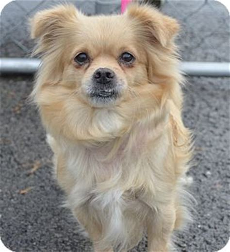 pomeranian mini poodle mix molly adopted morgantown wv poodle miniature pomeranian mix