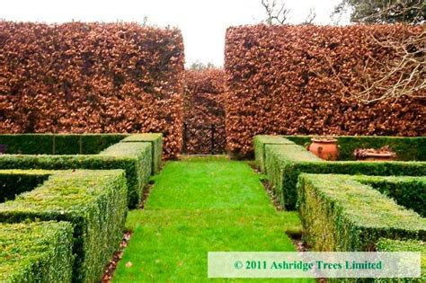 green is the new black www copperbeech com au indoor advice on buying a beech hedge and choosing the right