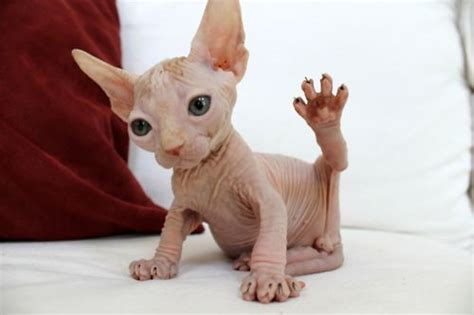 hairless mons hairless cat fits in my monster category okay this one