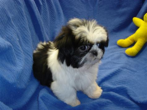 ohio shih tzu breeders cavoodle puppies for sale in ohio breeds picture