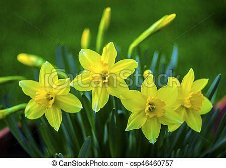 fiori di colore giallo fiore daffodils colore giallo daffodil field fiori