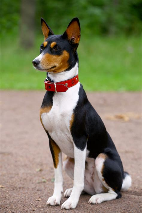 breed personalities basenji personality breeds picture