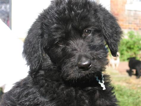 labradoodle puppy goldendoodle and labradoodle puppies from yesteryear acres goldendoodles and