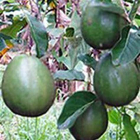 Bibit Alpukat Yogyakarta jual tanaman obat depok tanamanbaru