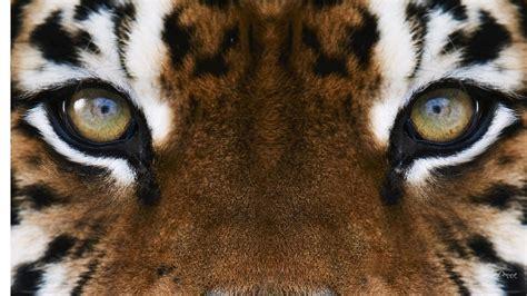 imagenes ojos de tigre tigre ojos pintado de escritorio hd pantalla ancha alta