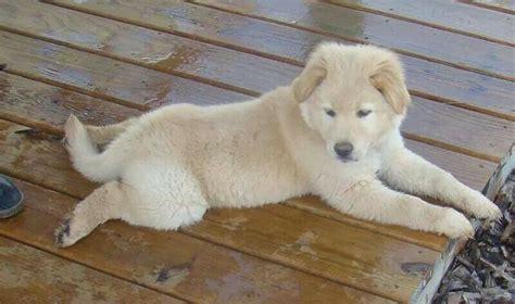golden retriever chow mix lifespan top 25 ideas about chow retriever mix on chow chow adoption and puppys