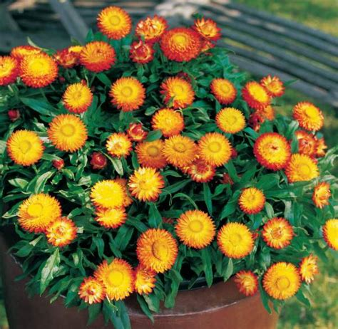 australian garden flowers best australian plants for pots and containers
