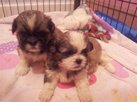 blue shih tzu puppies for sale shih tzu puppies blue dartford kent pets4homes