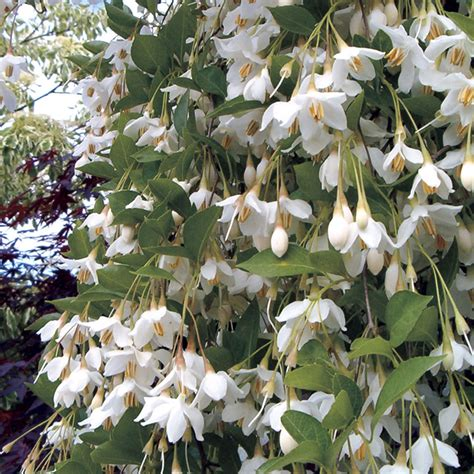 fragrant fountain japanese snowbell at wayside gardens
