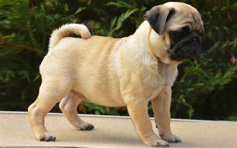 pug puppy weight pug puppies breed information puppies for sale