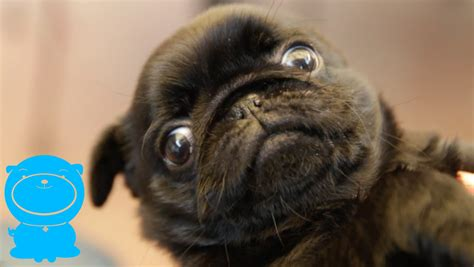 how much are pug these are the reasons why i pug puppies so much