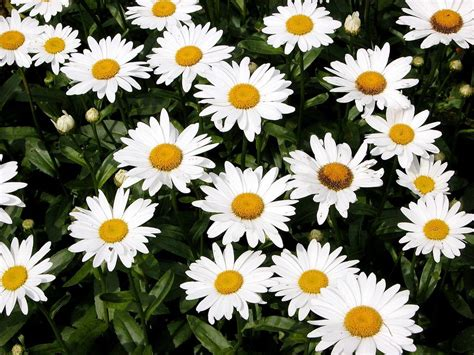 facts about daisy flowers shasta daisy flowers information on how to grow shasta daisy