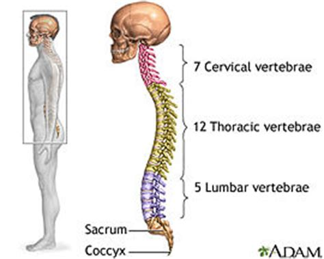 the spinal column is divided into how many sections artifical vertebrae by matthew mcnulty openwetware