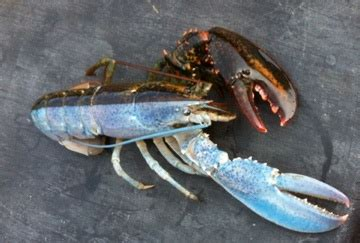 split colored lobster colored lobster www pixshark images galleries with