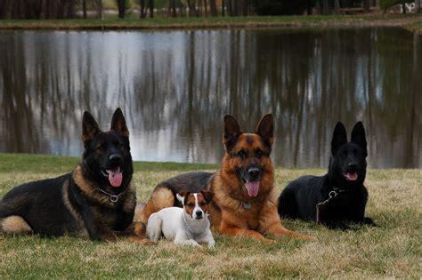 east german shepherd puppies image gallery ddr dogs