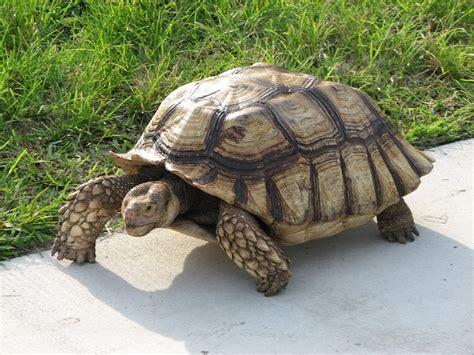 imagenes de tortugas blancas la tortuga