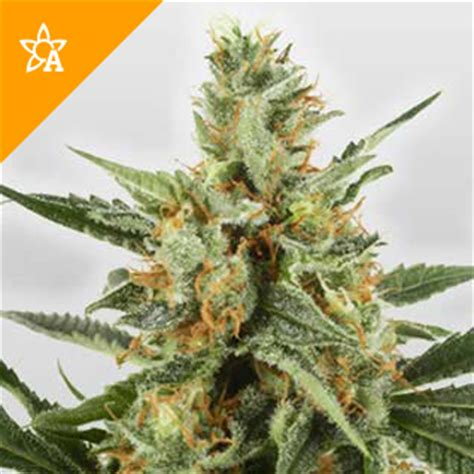 Erba Di Pas by Wss Skunk Automatic Hanfsamen Seed Shop