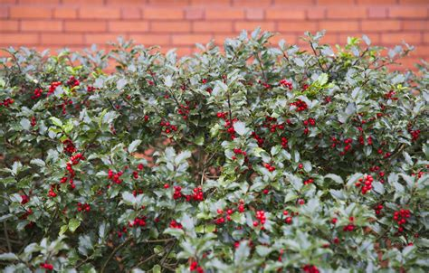 cold hardy hedges tips on growing a hedge in zone 6 climates